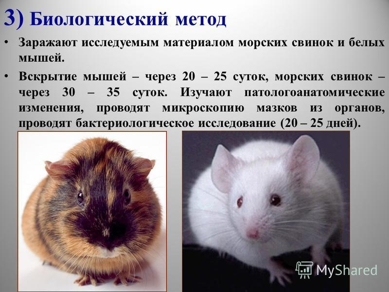 3) Биологический метод Заражают исследуемым материалом морских свинок и белых мышей. Вскрытие мышей – через 20 – 25 суток, морских свинок – через 30 – 35 суток. Изучают патологоанатомические изменения, проводят микроскопию мазков из органов, проводят