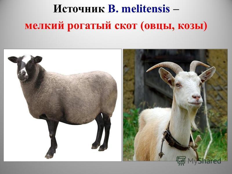 Источник B. melitensis – мелкий рогатый скот (овцы, козы)