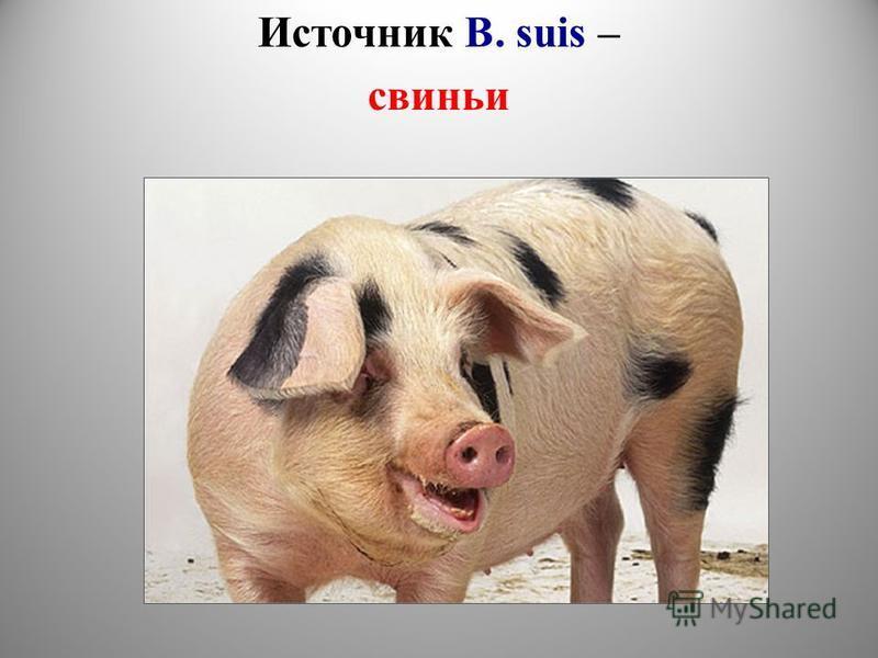 Источник B. suis – свиньи