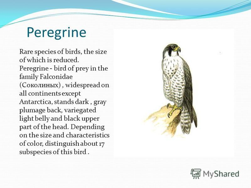 Peregrine Rare species of birds, the size of which is reduced. Peregrine - bird of prey in the family Falconidae (Соколиных), widespread on all continents except Antarctica, stands dark, gray plumage back, variegated light belly and black upper part