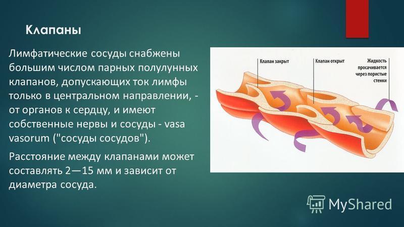 Клапаны Лимфатические сосуды снабжены большим числом парных полулунных клапанов, допускающих ток лимфы только в центральном направлении, - от органов к сердцу, и имеют собственные нервы и сосуды - vasa vasorum (