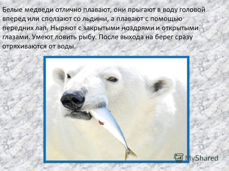 Белые медведи отлично плавают, они прыгают в воду головой вперед или сползают со льдины, а плавают с помощью передних лап. Ныряют с закрытыми ноздрями и открытыми глазами. Умеют ловить рыбу. После выхода на берег сразу отряхиваются от воды.