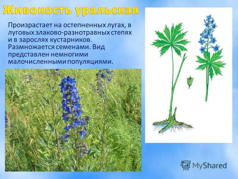 Произрастает на остепненных лугах, в луговых злаково-разнотравных степях и в зарослях кустарников. Размножается семенами. Вид представлен немногими малочисленными популяциями.