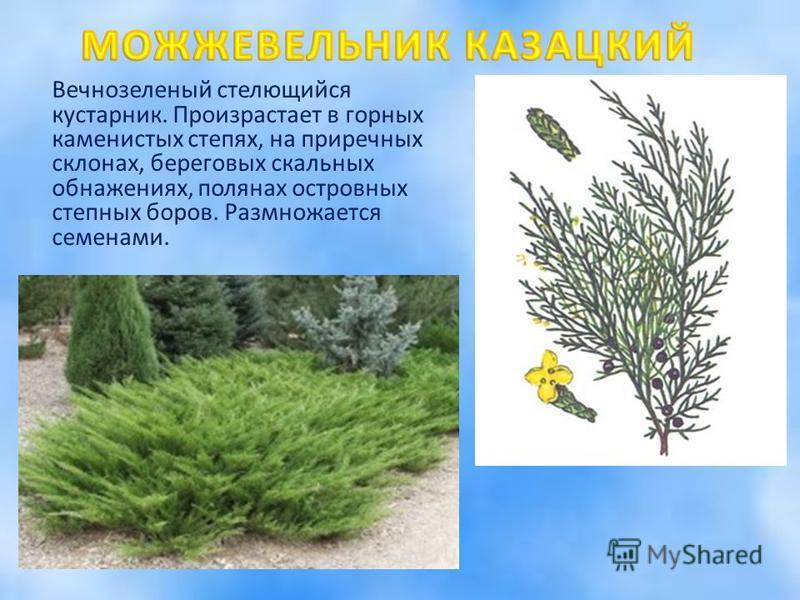 Вечнозеленый стелющийся кустарник. Произрастает в горных каменистых степях, на приречных склонах, береговых скальных обнажениях, полянах островных степных боров. Размножается семенами.