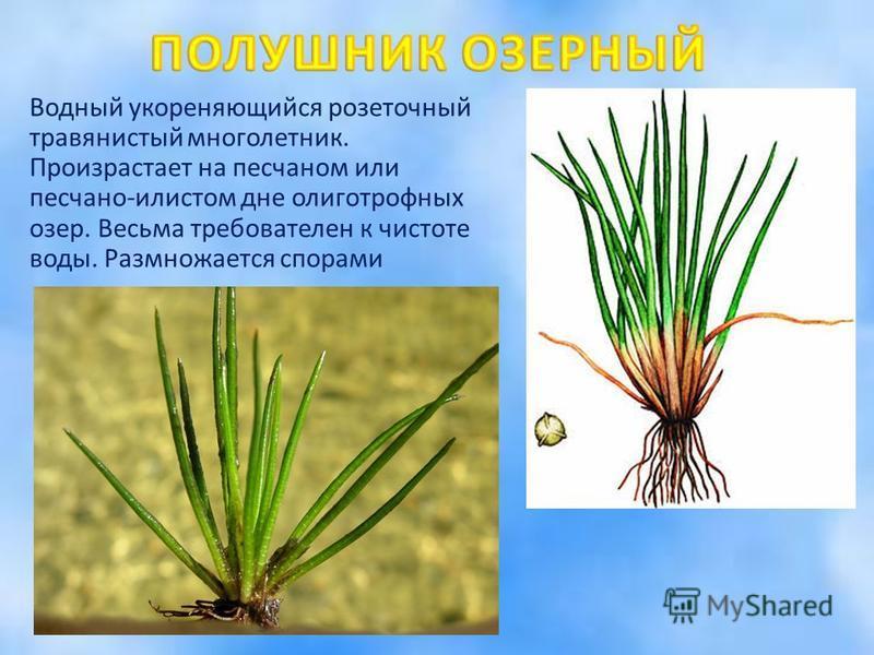 Водный укореняющийся розеточный травянистый многолетник. Произрастает на песчаном или песчано-илистом дне олиготрофных озер. Весьма требователен к чистоте воды. Размножается спорами
