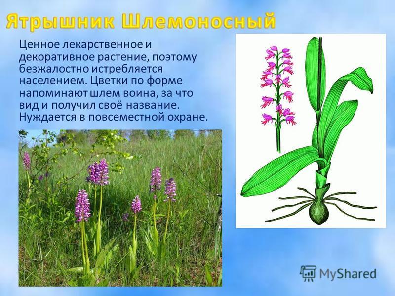 Ценное лекарственное и декоративное растение, поэтому безжалостно истребляется населением. Цветки по форме напоминают шлем воина, за что вид и получил своё название. Нуждается в повсеместной охране.