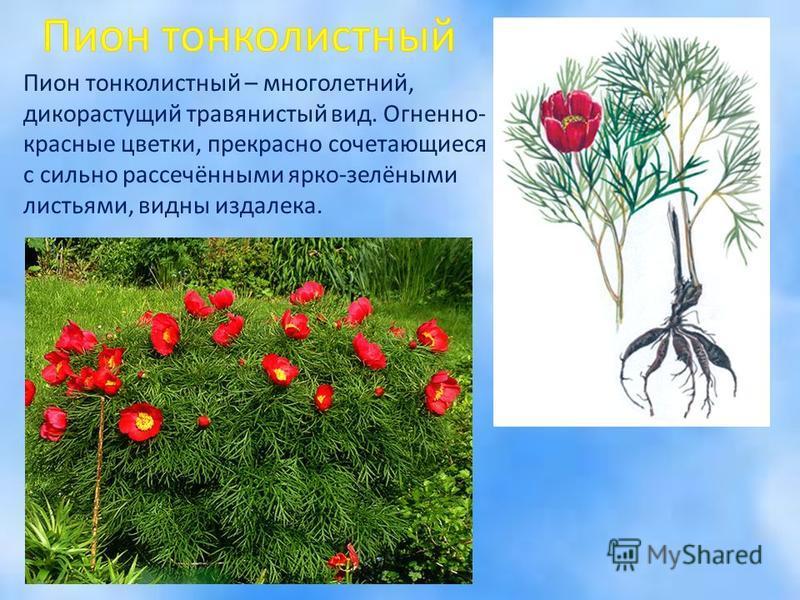 Пион тонколистный – многолетний, дикорастущий травянистый вид. Огненно- красные цветки, прекрасно сочетающиеся с сильно рассечёнными ярко-зелёными листьями, видны издалека.