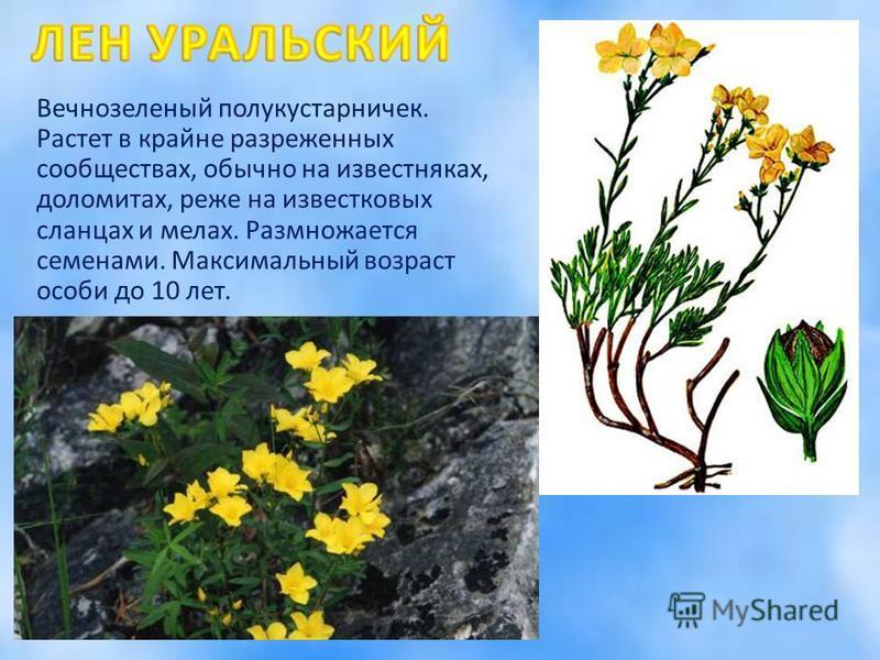 Вечнозеленый полукустарничек. Растет в крайне разреженных сообществах, обычно на известняках, доломитах, реже на известковых сланцах и мерах. Размножается семенами. Максимальный возраст особи до 10 лет.