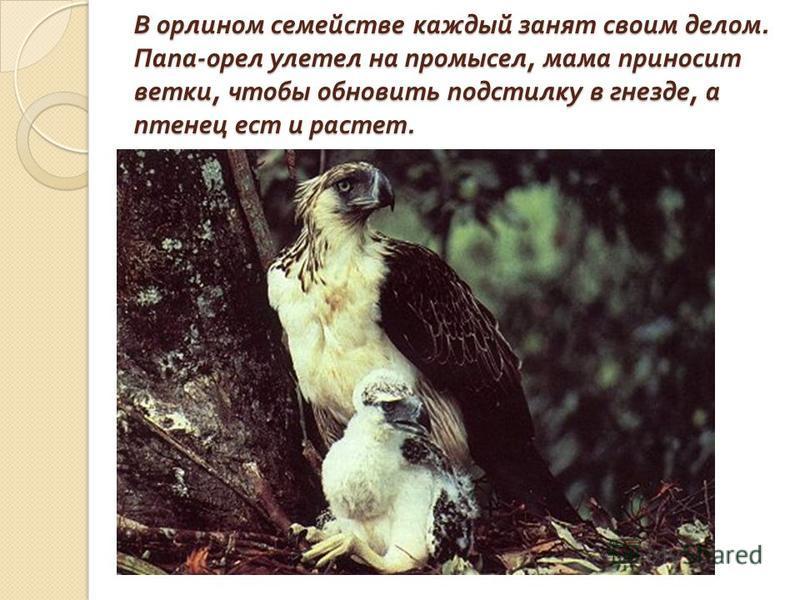 Первое название этого орла – « обезьяноед ». Хотя в основном он ест птиц, змей, шерстокрылов и лишь изредка обезьян.
