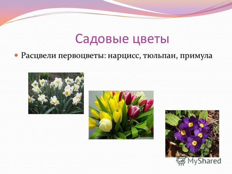 Садовые цветы Расцвели первоцветы: нарцисс, тюльпан, примула