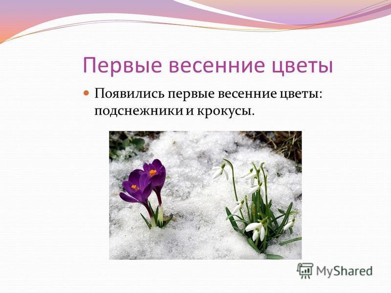 Первые весенние цветы Появились первые весенние цветы: подснежники и крокусы.