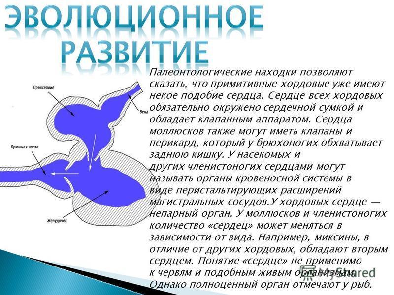 Палеонтологические находки позволяют сказать, что примитивные хордовые уже имеют некое подобие сесердца. Сесердце всех хордовых обязательно окружено сердечной сумкой и обладает клапанным аппаратом. Сесердца моллюсков также могут иметь клапаны и перик