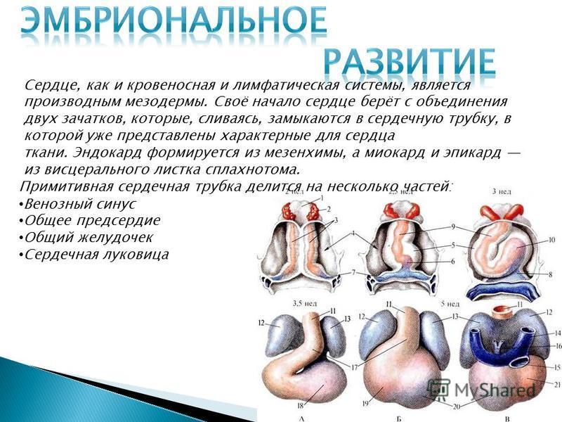 Сесердце, как и кровеносная и лимфатическая системы, является производным мезодермы. Своё начало сесердце берёт с объединения двух зачатков, которые, сливаясь, замыкаются в сердечную трубку, в которой уже представлены характерные для сесердца ткани.