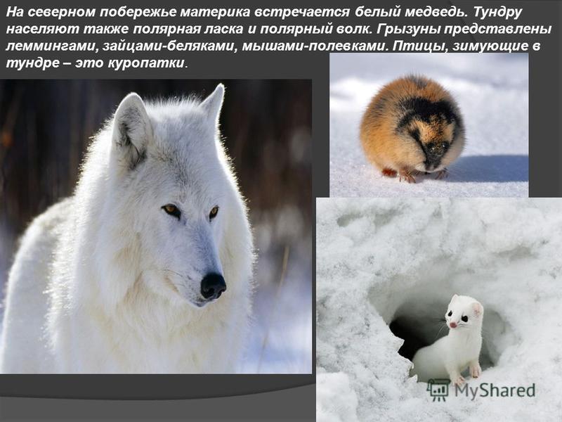 На северном побережье материка встречается белый медведь. Тундру населяют также полярная ласка и полярный волк. Грызуны представлены леммингами, зайцами-беляками, мышами-полевками. Птицы, зимующие в тундре – это куропатки.