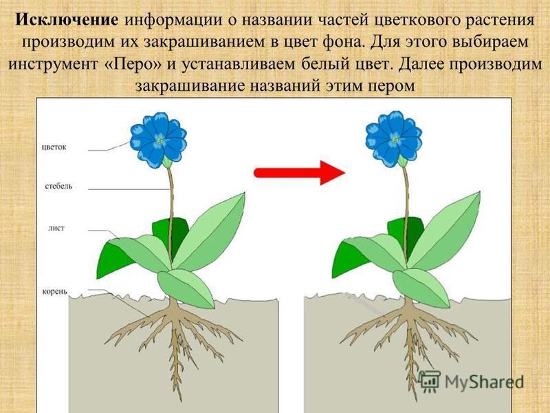 Исключение информации о названии частей цветкового растения производим их закрашиванием в цвет фона. Для этого выбираем инструмент «Перо» и устанавливаем белый цвет. Далее производим закрашивание названий этим пером