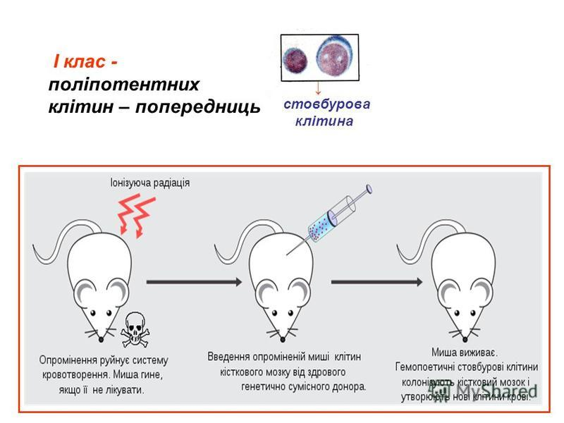 І клас - поліпотентних клітин – попередниць стовбурова клітина