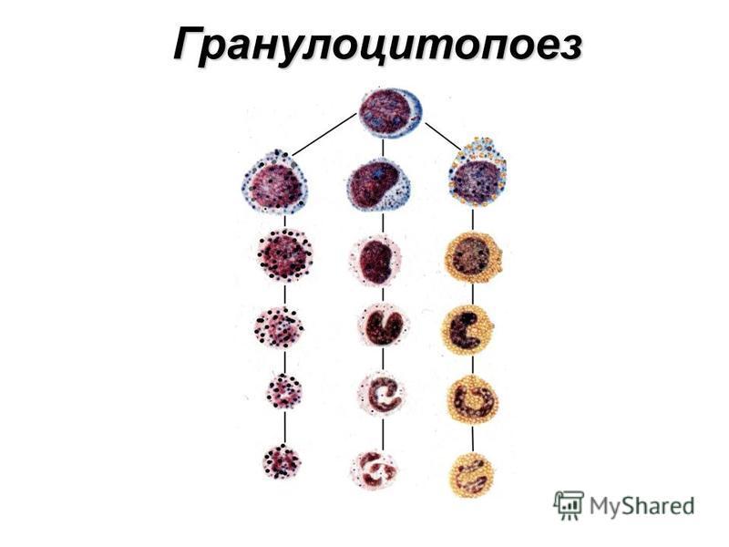 Гранулоцитопоез
