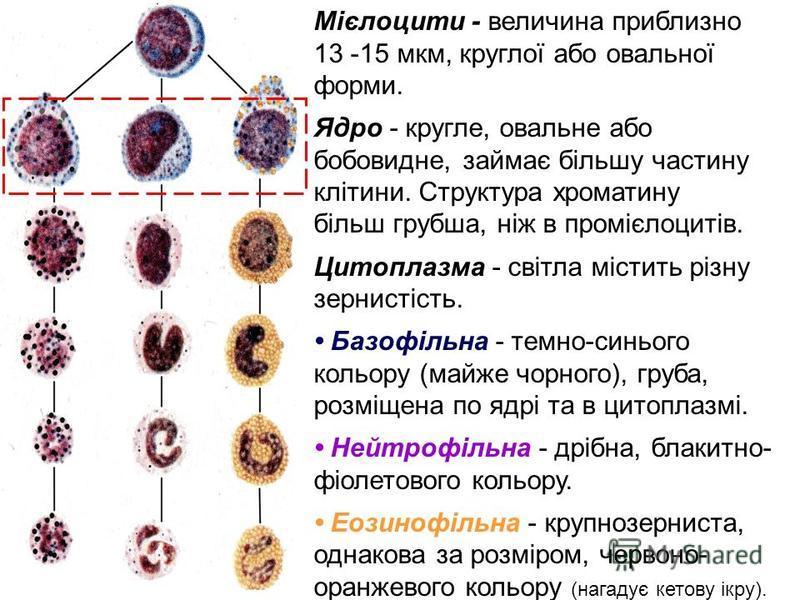 Мієлоцити - величина приблизно 13 -15 мкм, круглої або овальної форми. Ядро - кругле, овальне або бобовидне, займає більшу частину клітини. Структура хроматину більш грубша, ніж в промієлоцитів. Цитоплазма - світла містить різну зернистість. Базофіль