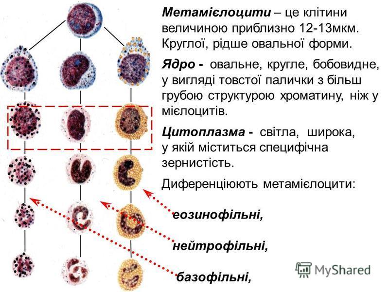 Метамієлоцити – це клітини величиною приблизно 12-13мкм. Круглої, рідше овальної форми. Ядро - овальне, кругле, бобовидне, у вигляді товстої палички з більш грубою структурою хроматину, ніж у мієлоцитів. Цитоплазма - світла, широка, у якій міститься