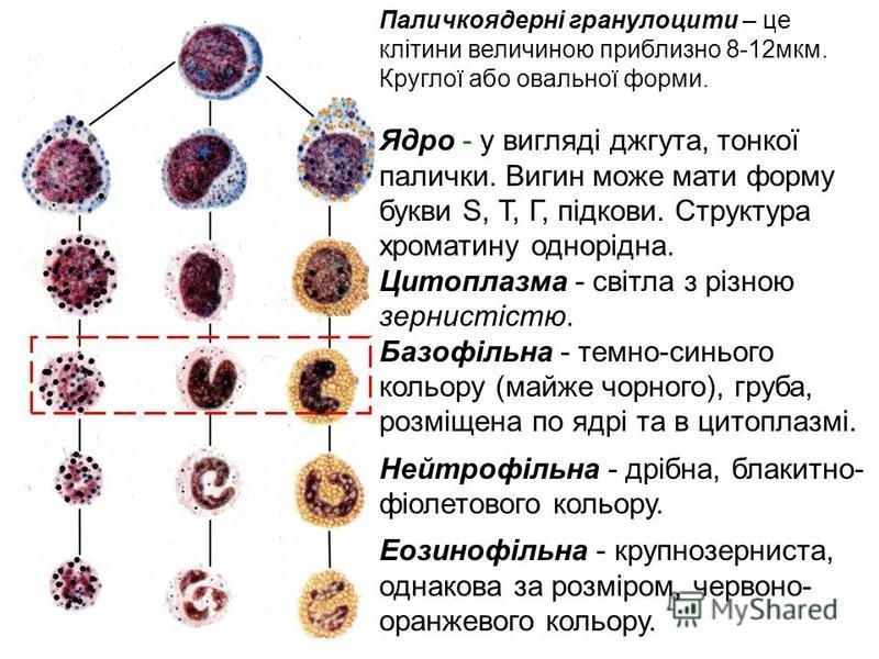 Паличкоядерні гранулоцити – це клітини величиною приблизно 8-12мкм. Круглої або овальної форми. Ядро - у вигляді джгута, тонкої палички. Вигин може мати форму букви S, Т, Г, підкови. Структура хроматину однорідна. Цитоплазма - світла з різною зернист