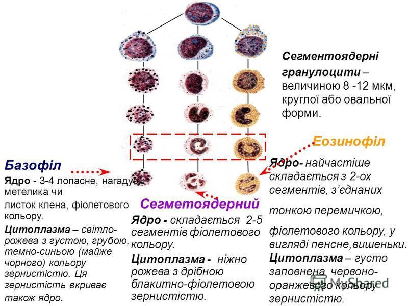 Сегментоядерні гранулоцити – величиною 8 -12 мкм, круглої або овальної форми. Сегметоядерний Ядро - складається 2-5 сегментів фіолетового кольору. Цитоплазма - ніжно рожева з дрібною блакитно-фіолетовою зернистістю. Базофіл Ядро - 3-4 лопасне, нагаду