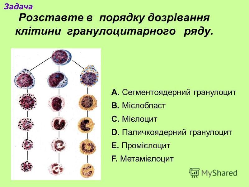 Розставте в порядку дозрівання клітини гранулоцитарного ряду. А. Сегментоядерний гранулоцит В. Мієлобласт С. Мієлоцит D. Паличкоядерний гранулоцит E. Промієлоцит F. Метамієлоцит Задача