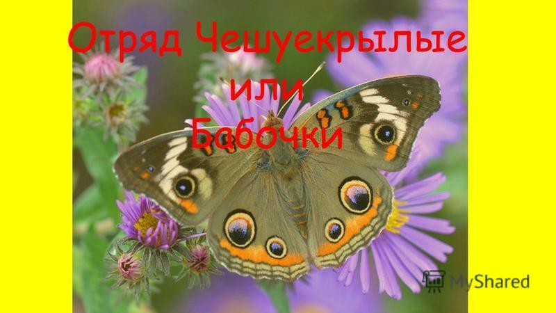 Отряд Чешуекрылые или Бабочки 7А