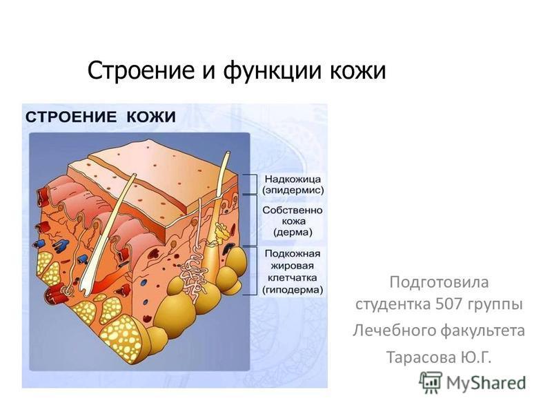 Строение и функции кожи Подготовила студентка 507 группы Лечебного факультета Тарасова Ю.Г.