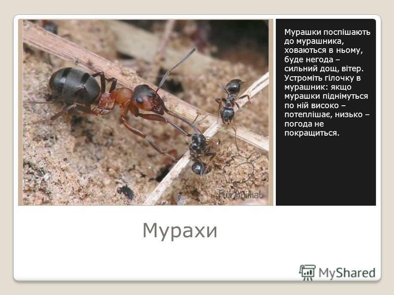 Мурахи Мурашки поспішають до мурашника, ховаються в ньому, буде негода – сильний дощ, вітер. Устроміть гілочку в мурашник: якщо мурашки піднімуться по ній високо – потеплішає, низько – погода не покращиться.