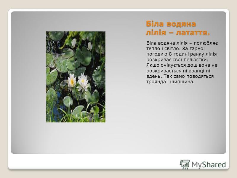 Біла водяна лілія – латаття. Біла водяна лілія – полюбляє тепло і світло. За гарної погоди о 8 годині ранку лілія розкриває свої пелюстки. Якщо очікується дощ вона не розкривається ні вранці ні вдень. Так само поводяться троянда і шипшина.