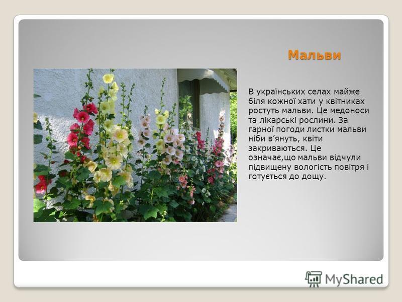 Мальви В українських селах майже біля кожної хати у квітниках ростуть мальви. Це медоноси та лікарські рослини. За гарної погоди листки мальви ніби вянуть, квіти закриваються. Це означає,що мальви відчули підвищену вологість повітря і готується до до