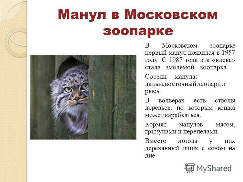 Манул в Московском зоопарке В Московском зоопарке первый манул появился в 1957 году. С 1987 года эта «киска» стала эмблемой зоопарка. Соседи манула: дальневосточный леопард и рысь. В вольерах есть стволы деревьев, по которым кошка может карабкаться.