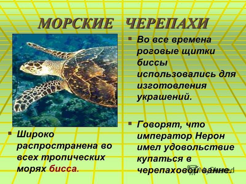 МОРСКИЕ ЧЕРЕПАХИ Широко распространена во всех тропических морях биса. Во все времена роговые щитки биссы использовались для изготовления украшений. Говорят, что император Нерон имел удовольствие купаться в черепаховой ванне.