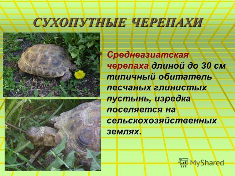 СУХОПУТНЫЕ ЧЕРЕПАХИ Среднеазиатская черепаха длиной до 30 см типичный обитатель песчаных глинистых пустынь, изредка поселяется на сельскохозяйственных землях.
