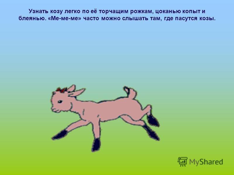 Узнать козу легко по её торчащим рожкам, цоканью копыт и блеянью. «Ме-ме-ме» часто можно слышать там, где пасутся козы.