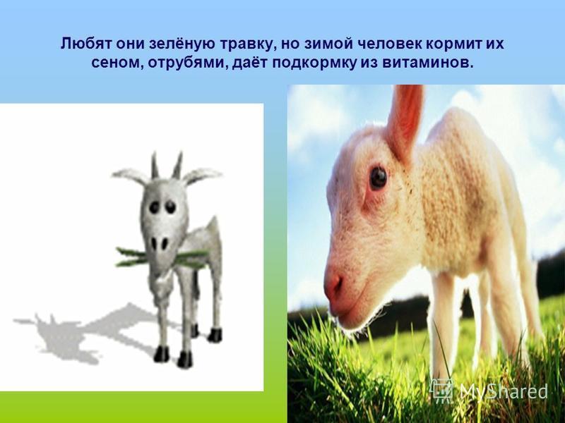 Любят они зелёную травку, но зимой человек кормит их сеном, отрубями, даёт подкормку из витаминов.