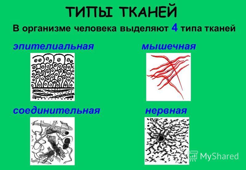 ТИПЫ ТКАНЕЙ В организме человека выделяют 4 типа тканей эпителиальная соединительная мышечная нервная