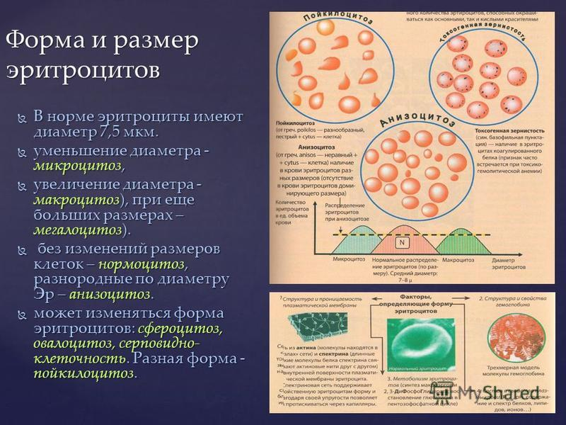 В норме эритроциты имеют диаметр 7,5 мкм. В норме эритроциты имеют диаметр 7,5 мкм. уменьшение диаметра - микроцитоз, уменьшение диаметра - микроцитоз, увеличение диаметра - макроцитоз), при еще больших размерах – мегалоцитоз). увеличение диаметра -