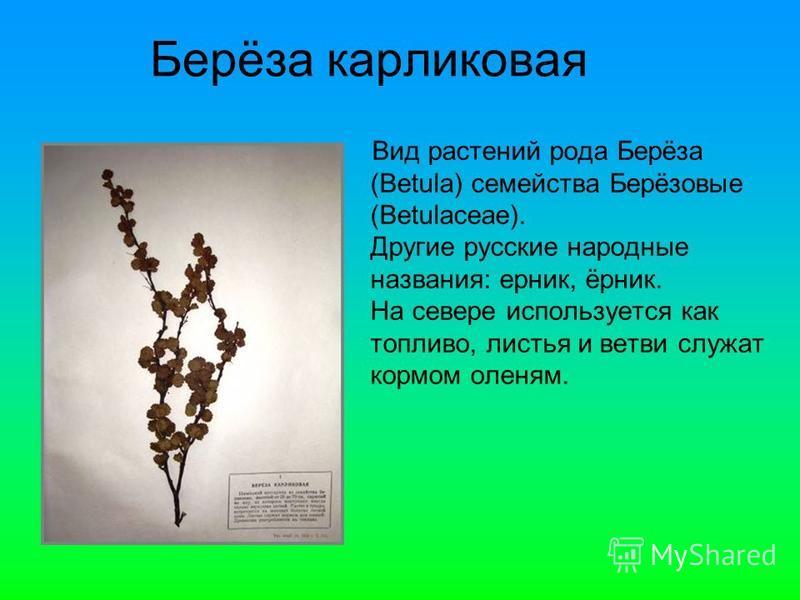 Вид растении рода Берёза (Betula) семейства Берёзовые (Betulaceae). Другие русские народные названия: ерник, ёрник. На севере используется как топливо, листья и ветви служат кормом оленям. Берёза карликовая
