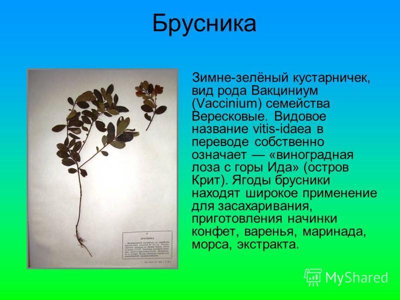 Зимне-зелёный кустарничек, вид рода Вакциниум (Vaccinium) семейства Верейсковые. Видовое название vitis-idaea в переводе собственно означает «виноградная лоза с горы Ида» (остров Крит). Ягоды брусники находят широкое применение для засахаривания, при
