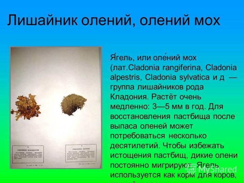 Я́гель, или оле́нии мох (лат.Cladonia rangiferina, Cladonia alpestris, Cladonia sylvatica и д группа лишайников рода Кладония. Растёт очень медленно: 35 мм в год. Для восстановления пастбища после выпаса оленей может потребоваться несколько десятилет