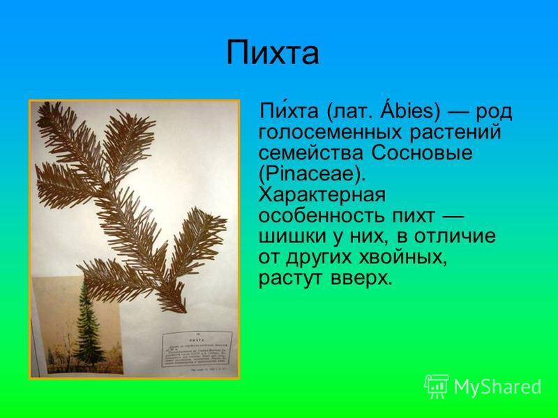 Пи́хта (лат. Ábies) род голосеменных растении семейства Сосновые (Pinaceae). Характерная особенность пихт шишки у них, в отличие от других хвойных, растут вверх.