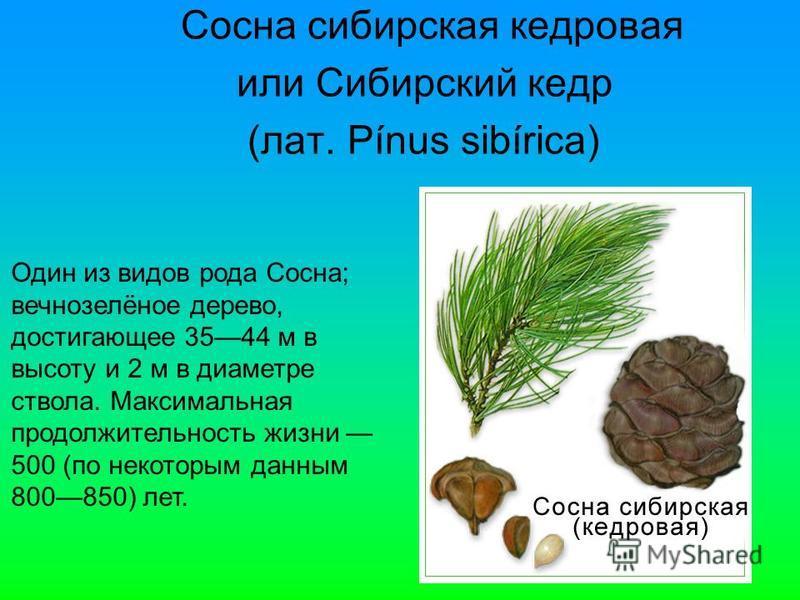 Сосна сибирская кедровая или Сибирский кедр (лат. Pínus sibírica) Один из видов рода Сосна; вечнозелёное дерево, достигающее 3544 м в высоту и 2 м в диаметре ствола. Максимальная продолжительность жизни 500 (по некоторым данным 800850) лет.