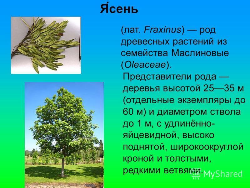 Я́сень (лат. Fraxinus) род древесных растении из семейства Маслиновые (Oleaceae). Представители рода деревья высотой 2535 м (отдельные экземпляры до 60 м) и диаметром ствола до 1 м, с удлинённо- яйцевидной, высоко поднятой, широко округлой кроной и т