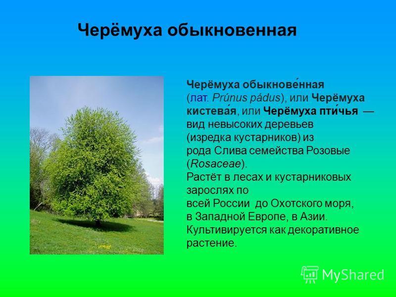 Черёмуха обыкновенная Черёмуха обыкнове́нная (лат. Prúnus pádus), или Черёмуха кистевая́я, или Черёмуха пти́чья вид невысоких деревьев (изредка кустарников) из рода Слива семейства Розовые (Rosaceae). Растёт в лесах и кустарниковых зарослях по всей Р