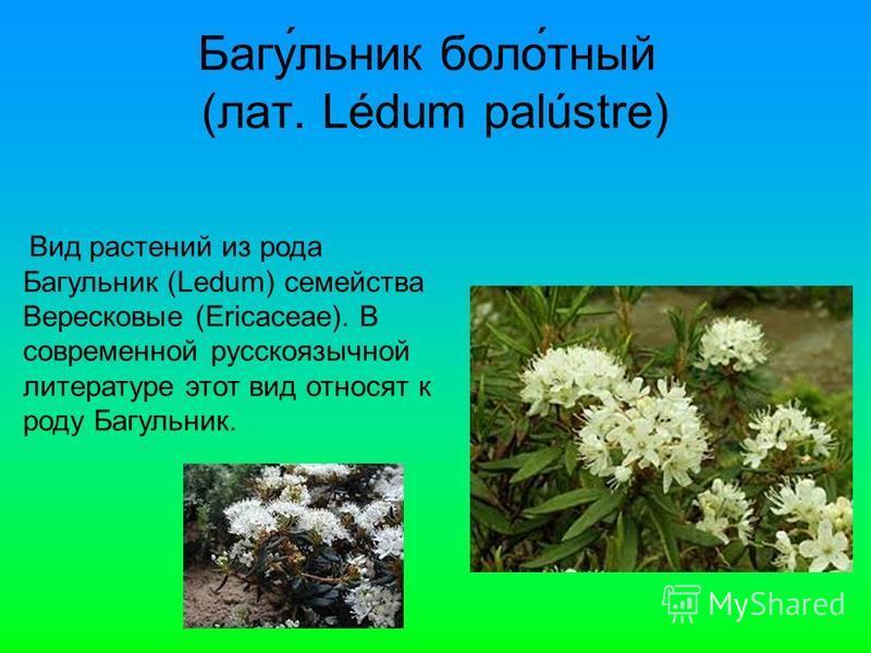 Багу́еельник боло́тный (лат. Lédum palústre) Вид растении из рода Багуеельник (Ledum) семейства Верейсковые (Ericaceae). В современной русскоязычной литературе этот вид относят к роду Багуеельник.