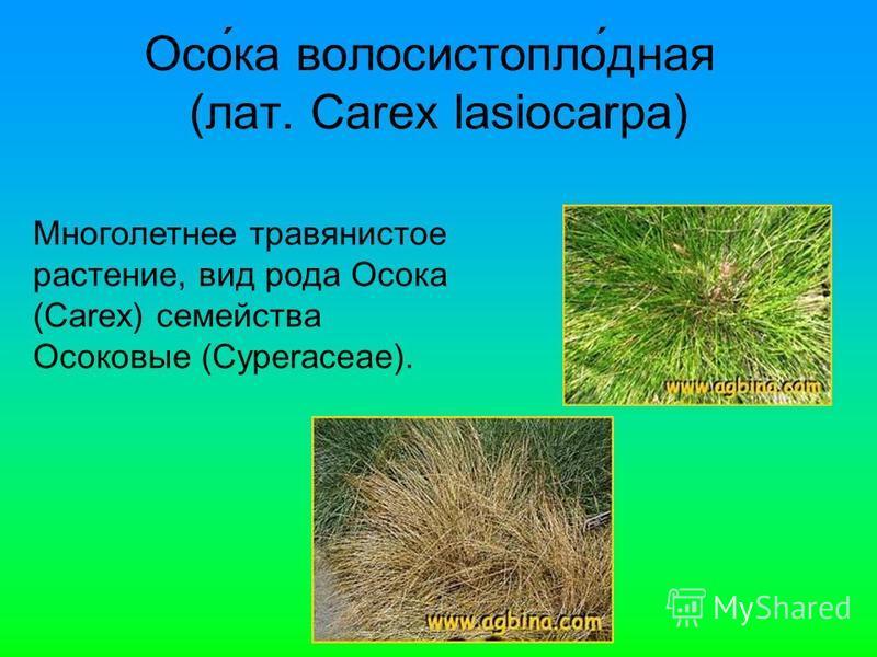 Осо́ка волосистопло́дная (лат. Carex lasiocarpa) Многолетнее травянистое растение, вид рода Осока (Carex) семейства Осоковые (Cyperaceae).
