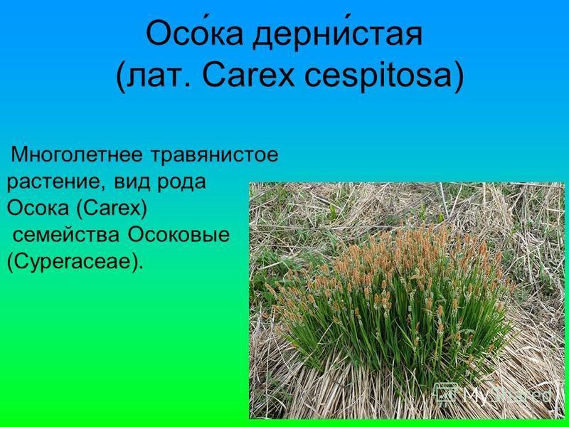 Осо́ка дерни́стая (лат. Carex cespitosa) Многолетнее травянистое растение, вид рода Осока (Carex) семейства Осоковые (Cyperaceae).