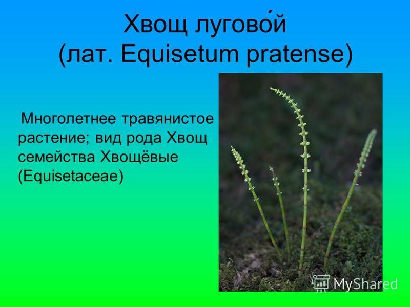 Хвощ лугово́й (лат. Equisetum pratense) Многолетнее травянистое растение; вид рода Хвощ семейства Хвощёвые (Equisetaceae)