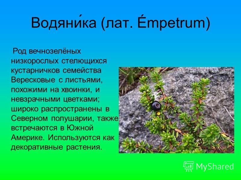 Водяни́ка (лат. Émpetrum) Род вечнозелёных низкорослых стелющихся кустарничков семейства Верейсковые с листьями, похожими на хвоинки, и невзрачными цветками; широко распространены в Северном полушарии, также встречаются в Южной Америке. Используются